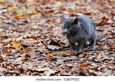 Beautiful little gray kitten in the woods on the leaves
