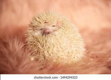 beautiful little hedgehog cuddling and hiding its spikes with face exposed on pink soft studio background