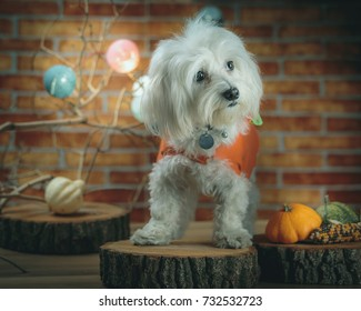 Beautiful little Maltese in orange dress posing for halloween concept. Low Light and colorized image.
