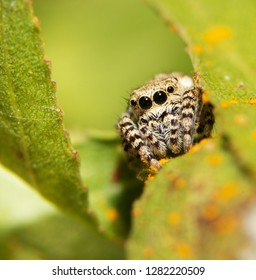 Beautiful little Peppered Jumping spider resting on a Willow leaf