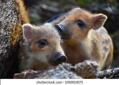 Beautiful little pigs wild in nature. Wild boar. Animal in spring forest.