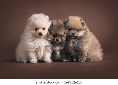 A Beautiful little Pomeranian Puppy on brown background