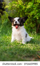 Beautiful little puppy of papillon breed in the summer garden