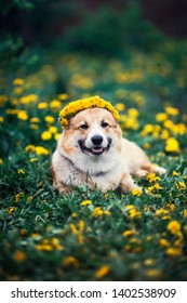 beautiful little puppy red Corgi lies on the field with yellow dandelions in a wreath of flowers
