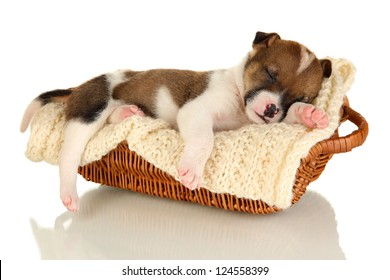 Beautiful little puppy sleeping in basket isolated on white