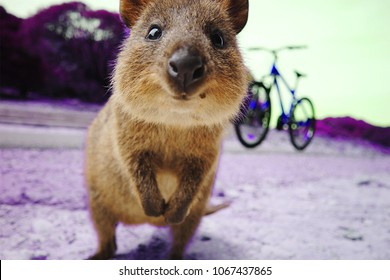 Beautiful Little Quokka