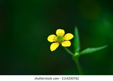 A beautiful little yellow flower (meadow, tall buttercup) in the forest (summer, spring) on a dark background. Macro photo of a flower. Ranunculus acris