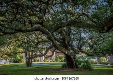 Beautiful Live Oak in Beaufort, North Carolina