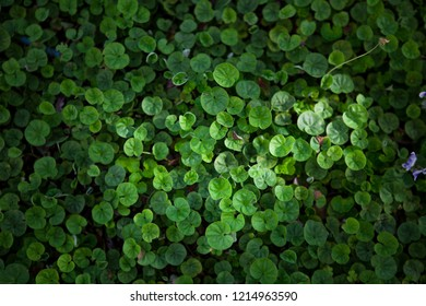 Beautiful living mat of many small tiny leaves of green liverwort ground cover in a garden. A beautiful soft green background texture viewed from above.