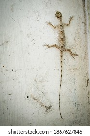 Beautiful lizard with a long tail sits on the wall. High quality photo