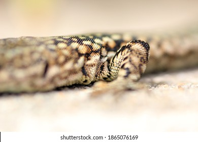 beautiful lizard, wildlife photography Portugal
