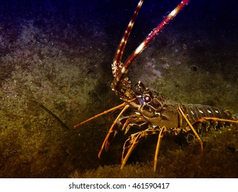 Beautiful lobster,