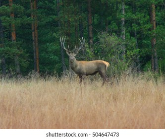 beautiful lone deer in the woods
