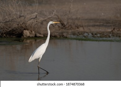A beautiful lone Great Egret (Ardea alba), also known as the Common Egret, Large Egret, Great White Egret or Great White Heron, as seen in the shallow waters at the Ras Al Khor wildlife sanctuary.