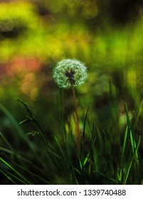 Beautiful lonely dandelion with blowball on light green background. Summer nature at Dnipropetrovsk district, Ukraine. A fluffy blowball on grass vegetation.