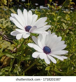 Beautiful lonely white Osteospermum Eklon (Osteospermum ecklonis or Cape marguerite) on the background of green leaves is an ornamental plant. Close-up.