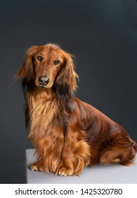 beautiful long hair brown dachshund in a photo studio
