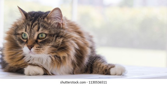 Beautiful long haired cat of livestock, siberian purebred hypoallergenic. Adorable fur kitten lying outdoor