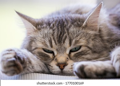 beautiful long haired cat of siberian breed lying in relax