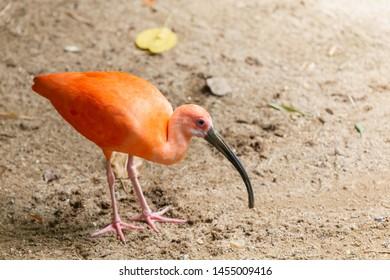 Beautiful long mouthed orange bird,Ibis Escarlate,long legged wading bird,is a species of ibis in the bird family Threskiornithidae,