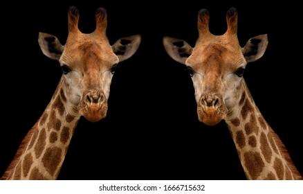 Beautiful Long Neck Giraffe Face