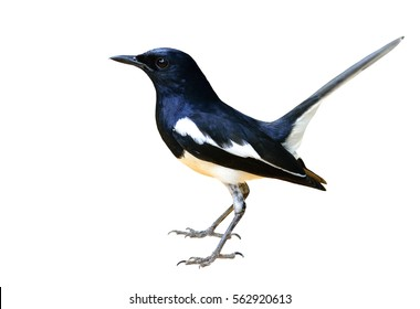 Beautiful long tail bird wagging tail in the nature, Male Oriental Magpie-Robin (Copsychus saularis) isolated on white background