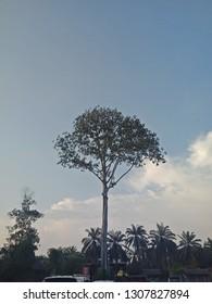 a beautiful long tree at banting , selangor, malaysia