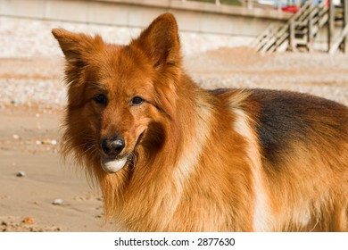 A beautiful long-coat GSD bitch with a stone in her mouth -