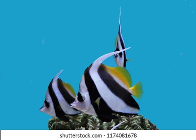 The beautiful longfin bannerfish (reef bannerfish or coachman) in marine aquarium, Heniochus acuminatus is a species of fish belonging to the Chaetodontidae family, native from the Indo-Pacific area.
