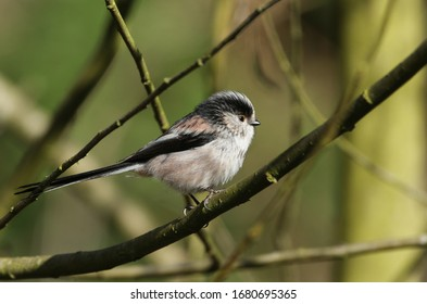 A beautiful Long-tailed Tit, Aegithalos caudatus, perching on a branch of a tree.