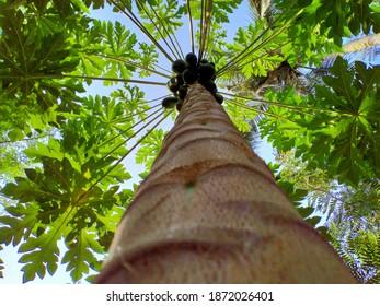 beautiful look of papaya plant from bottom nice papaya tree leaves from bottom view plant wallapaper