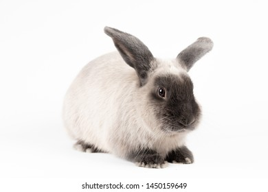 A beautiful lop rabbit against an isolated background.