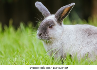 A beautiful lop rabbit against an isolated background of long green grass