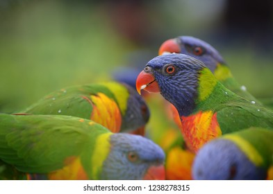 Beautiful Lorikeets enjoying there breakfast in Australia.