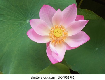 A beautiful lotus.