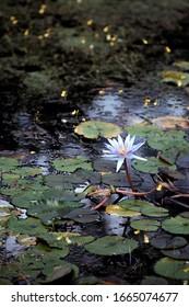 Beautiful Lotus at Ankor Wat
