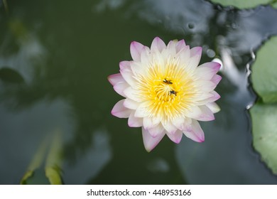 Beautiful lotus with bees in pond