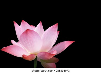 beautiful lotus blooming on back background