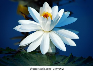 Beautiful Lotus with clear blue water background