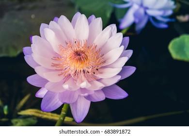 Beautiful  Lotus flowe.Nature background.