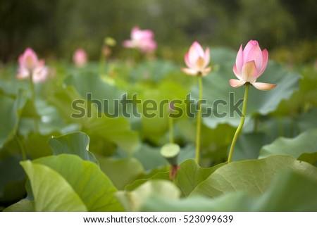 Beautiful lotus flower bloom lotus flowers stock photo edit now beautiful lotus flower bloom a lot of lotus flowers in natural habitat srinagar mightylinksfo