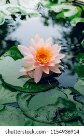 A beautiful lotus flower is complimented by the rich colors of the deep blue water surface.Nature Background.