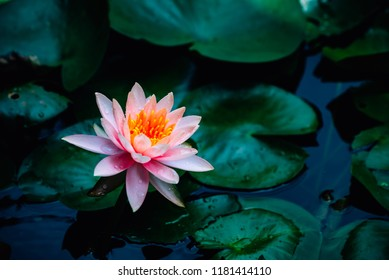 A beautiful lotus flower is complimented by the rich colors of the deep blue water surface.Nature Background.Lotus plant.