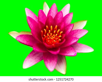 beautiful lotus flower Ellisiana or Tubtim Siam Water Lily blooming isolated on green background