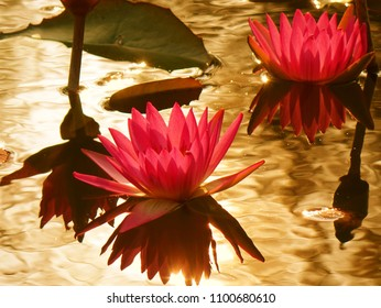 Beautiful lotus flower in full bloom with reflection of the afternoon sun in a quiet pond