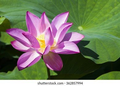 Beautiful lotus flower in the garden