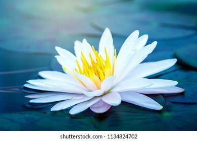 beautiful Lotus Flower with green leaf in in pond