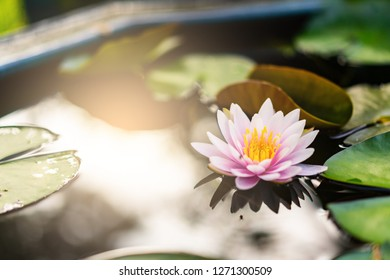 beautiful lotus flower on the water after rain in garden.