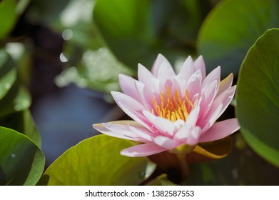 beautiful lotus flower on the water in garden.