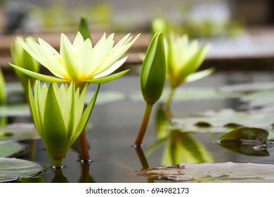 Beautiful lotus flower in pond. Nelumbo nucifera, also known as Indian lotus, sacred lotus, bean of India, Egyptian bean or simply lotus, is one of two extant species of aquatic plant.